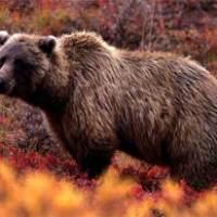 Šamanskí sprievodcovia: Medveď
