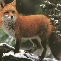 Šamanskí sprievodcovia: Líška