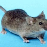 Šamanskí sprievodcovia: Myš