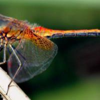 Šamanskí sprievodcovia: Vážka