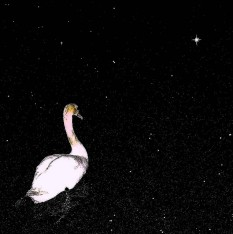 swan in the night