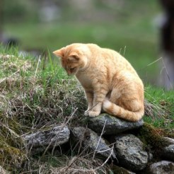 orange-cat-sitting-on-a-stone-waiting-for-a-mouse