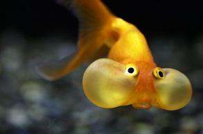 GT zlta ryba