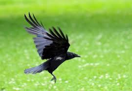 vrana