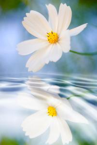 cosmea-flower--reflection-in-water-silke-magino