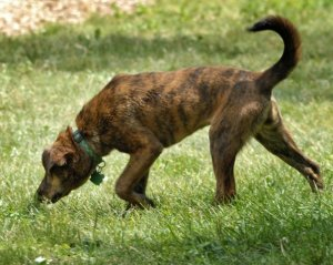 Brindle_plott_hound