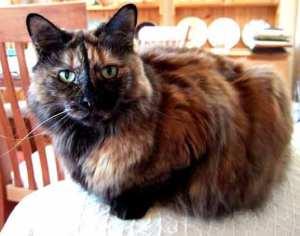 tortoiseshell-cat-1