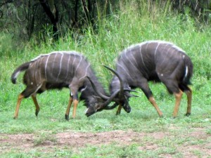 Fighting_Nyalas