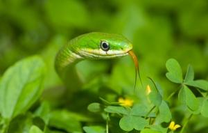 Grass_snake_(contest)