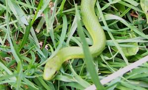 Green-Grass-Snake-3