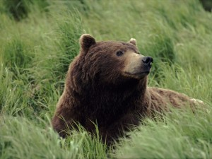 Bear-Wallpaper-bears-31446780-1600-1200