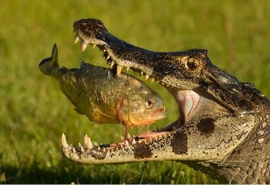 Predator-eats-predator