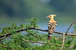 DSC_4039-Common-Hoopoe