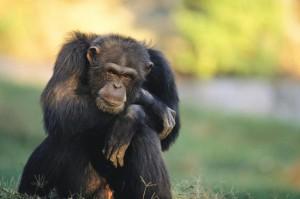 portrait-of-pensive-chimpanzee-michael-nichols