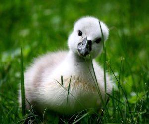 baby-swan-big