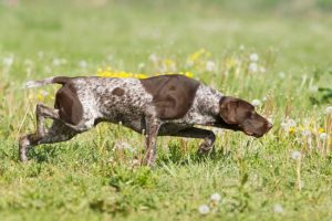 colored-hunting-dog-breeds-list
