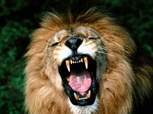 roaring-african-lion1